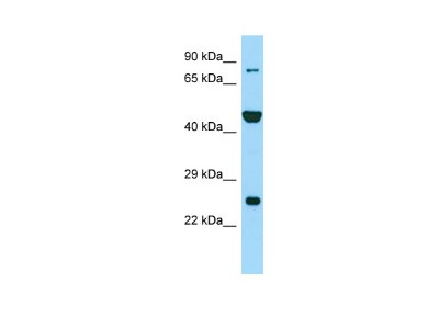 PADI6 Antibody