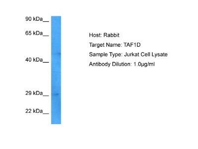 TAF1D Antibody