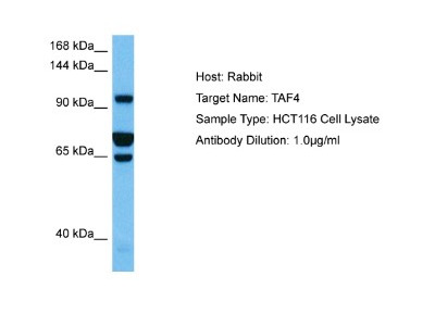 Taf4 Antibody