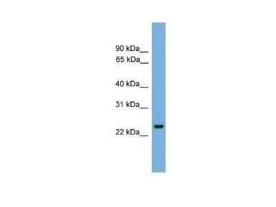 Pet1 Antibody