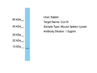 COX16 Antibody
