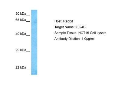 Zinc finger protein 324B Antibody