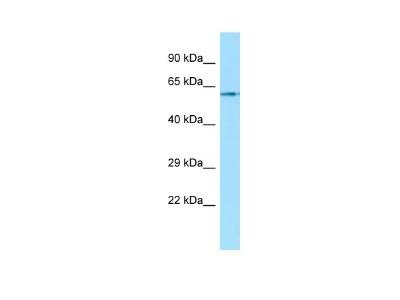 Muscarinic Acetylcholine Receptor M1/CHRM1 Antibody