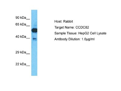 CCDC82 Antibody