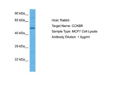 Cholecystokinin-B R/CCKBR Antibody