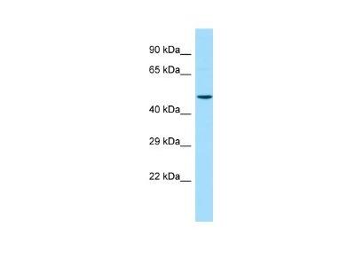 CBWD2 Antibody