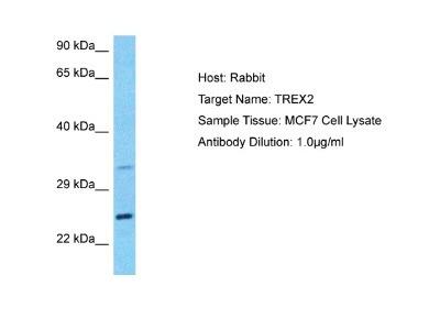 TREX2 Antibody