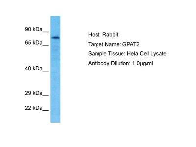GPAT2 Antibody