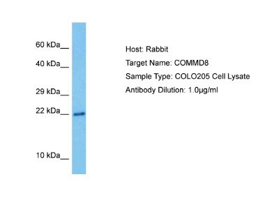 COMMD8 Antibody