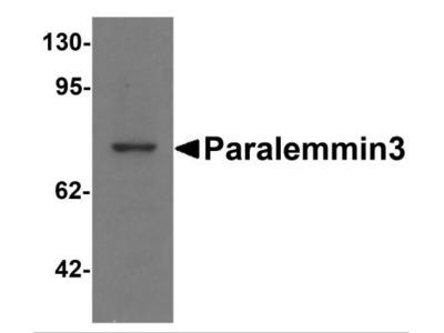 Paralemmin 3 Antibody