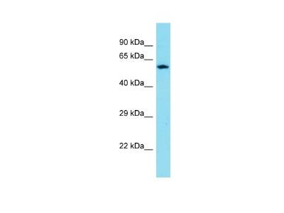 CXXC Finger Protein 11 Antibody
