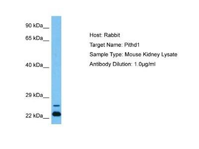PITHD1 Antibody
