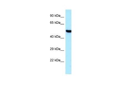 TARS2 Antibody