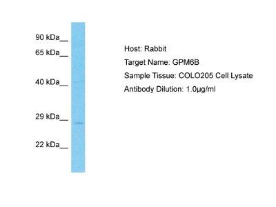 GPM6B Antibody