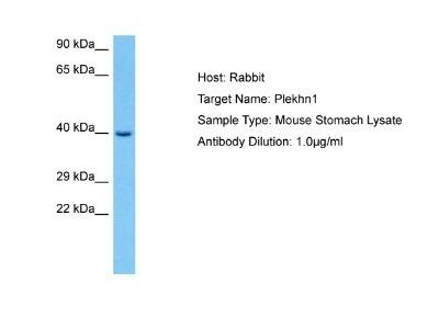 PLEKHN1 Antibody