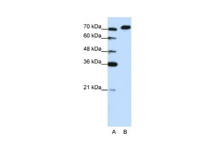 HA95/AKAP8L Antibody