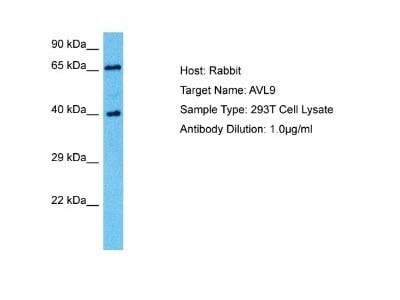 AVL9 Antibody