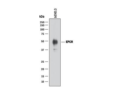 Mouse EPCR Antibody