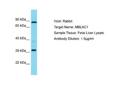 MBLAC1 Antibody