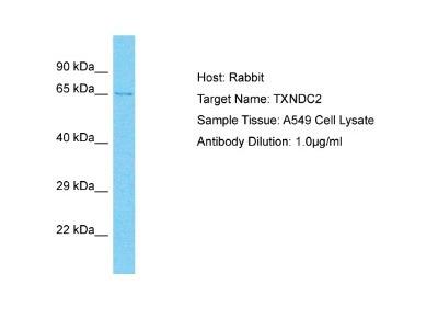 TXNDC2 Antibody