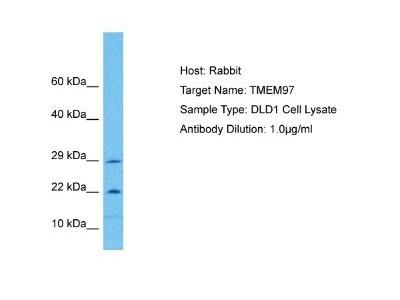 TMEM97 Antibody