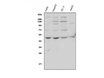 Anti-ATG4A Antibody Picoband