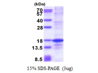 Human H2AFZ Recombinant Protein