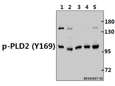 Anti-PLD2 (phospho-Y169) Antibody
