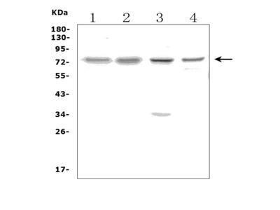 Anti-PPM1D/WIP1 Picoband Antibody