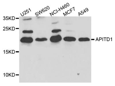 Anti-APITD1 CENPS Antibody