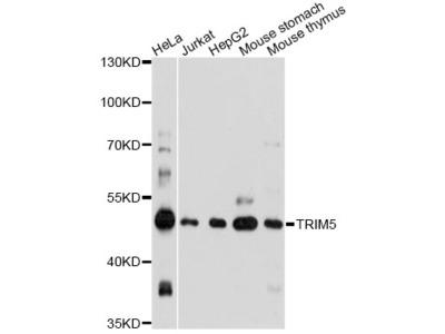 Anti-TRIM5 Antibody