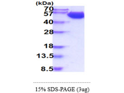 Human CD98 Recombinant Protein