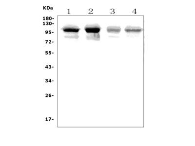 Anti-PLD2 Picoband Antibody