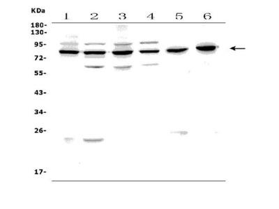 Anti-PAF1/PD2 Picoband Antibody