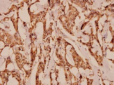 Anti-C5aR (S334) C5AR1 Antibody