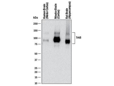 TrkB Antibody