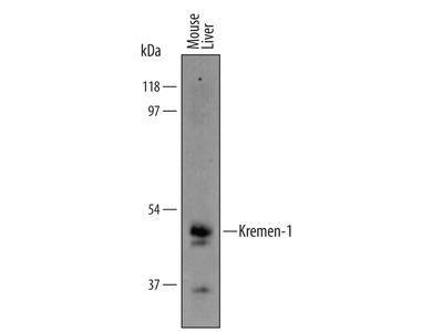 Mouse Kremen-1 Antibody