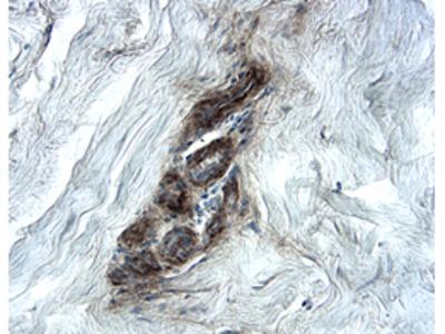 Endorepellin /Perlecan Antibody