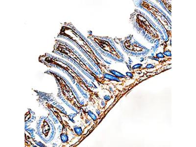 Mouse Endostatin Antibody