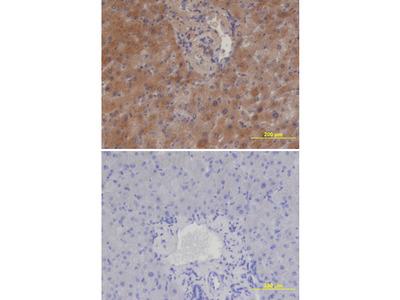 Cerberus 1 Antibody