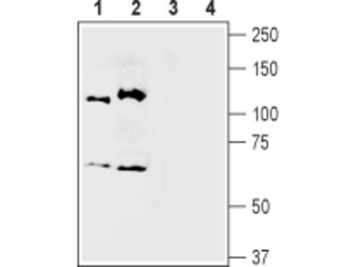 Semaphorin 3A/SEMA3A Blocking Peptide