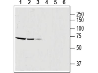 SLC25A12 Blocking Peptide