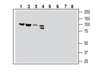 Semaphorin-3F Blocking Peptide