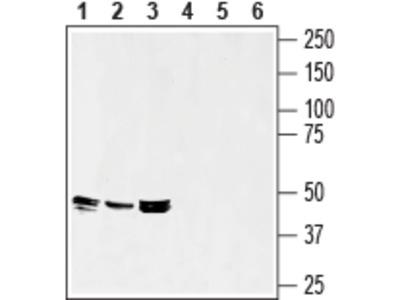 Septin-7 Blocking Peptide