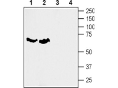 SLC6A7/Proline Transporter Blocking Peptide