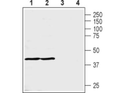 MCT3 Blocking Peptide