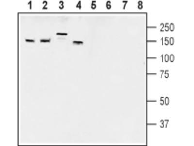 AKAP150 Blocking Peptide