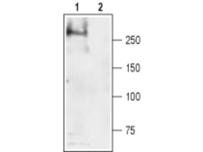 SCN4A/Nav1.4 Blocking Peptide