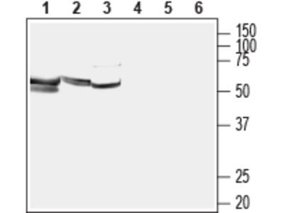 LAT1/SLC7A5 Blocking Peptide