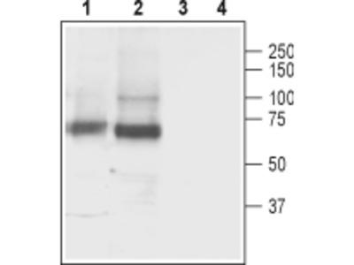 GABA Transporter 3/GAT-3 Blocking Peptide